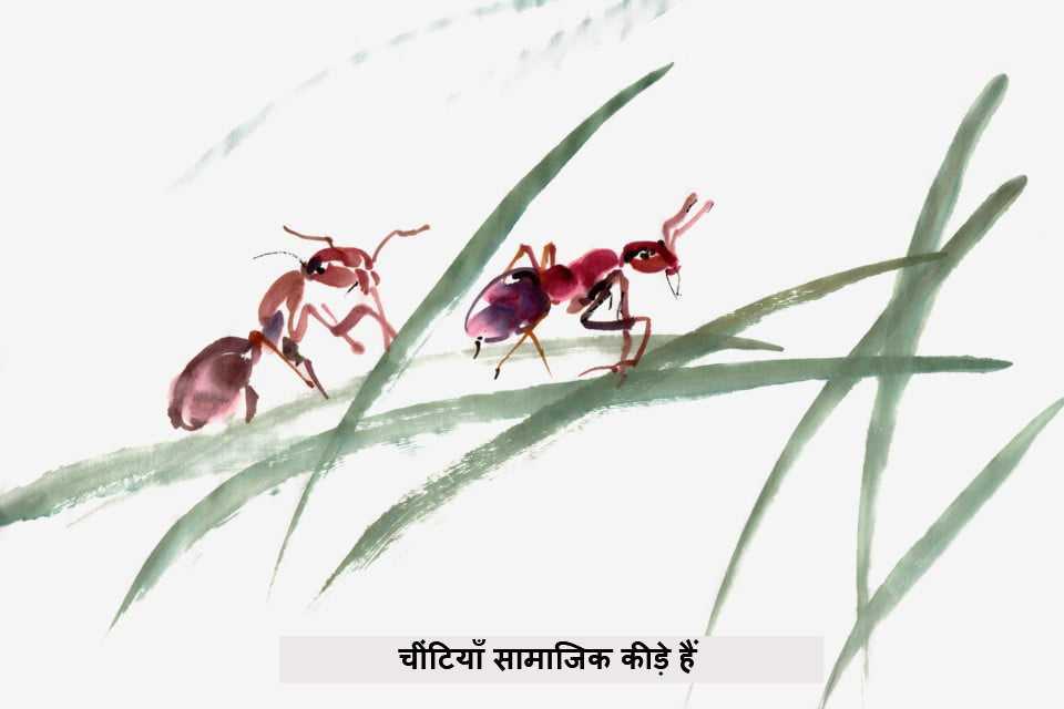 चींटियाँ सामाजिक कीड़े हैं
