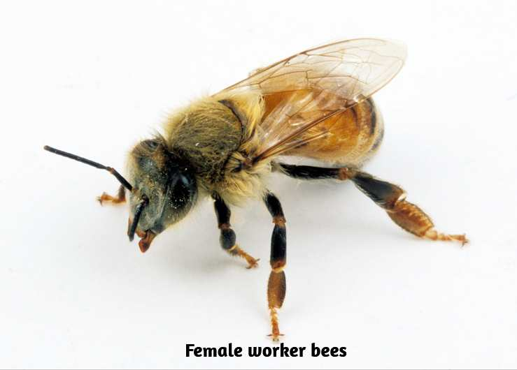 Female worker bees