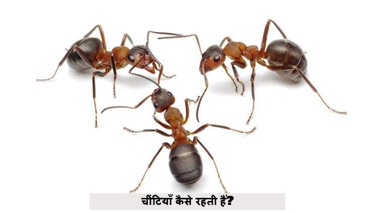 चींटियाँ कैसे रहती हैं?