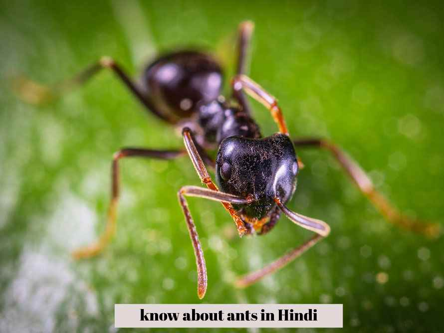 know about ants in Hindi