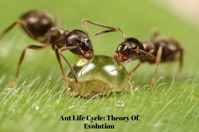 Ant Life Cycle: Theory Of Evolution