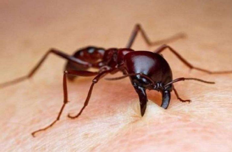 सामाजिक परजीवी चींटियां की कॉलोनी की स्थापना